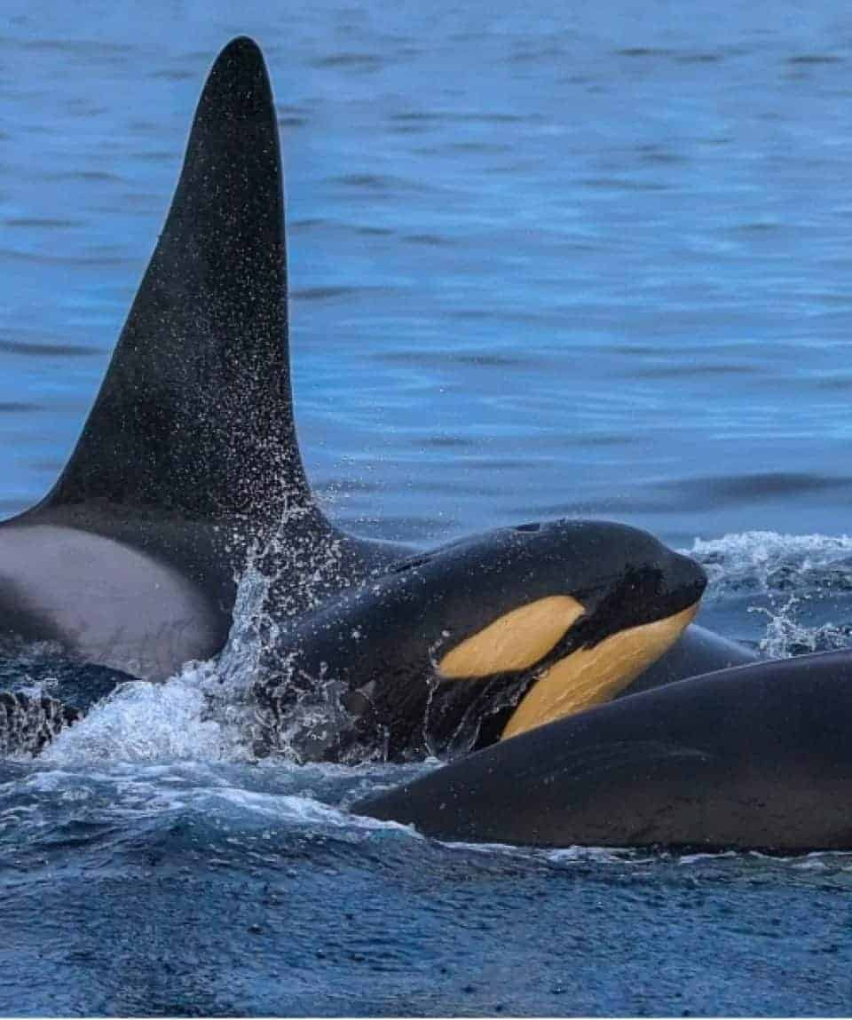 Orcas with Young