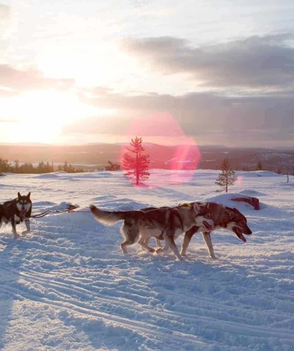Huskies at Sunset