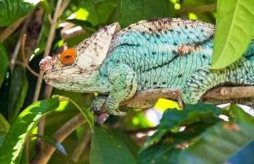 Spot Chameleon